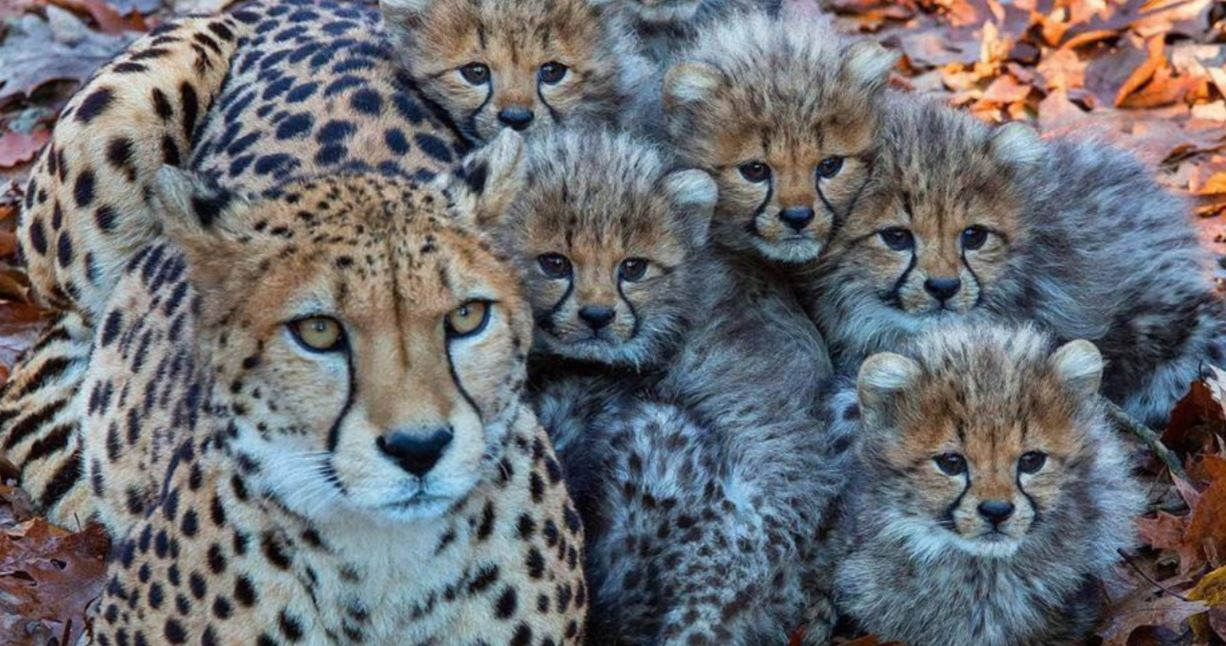 Cheetahs confiscated in Somaliland