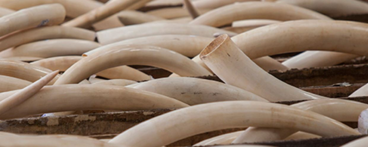 Mozambique ivory seized in Cambodia