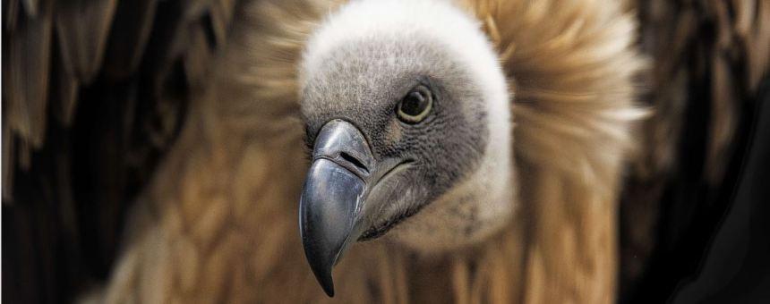Vulture black