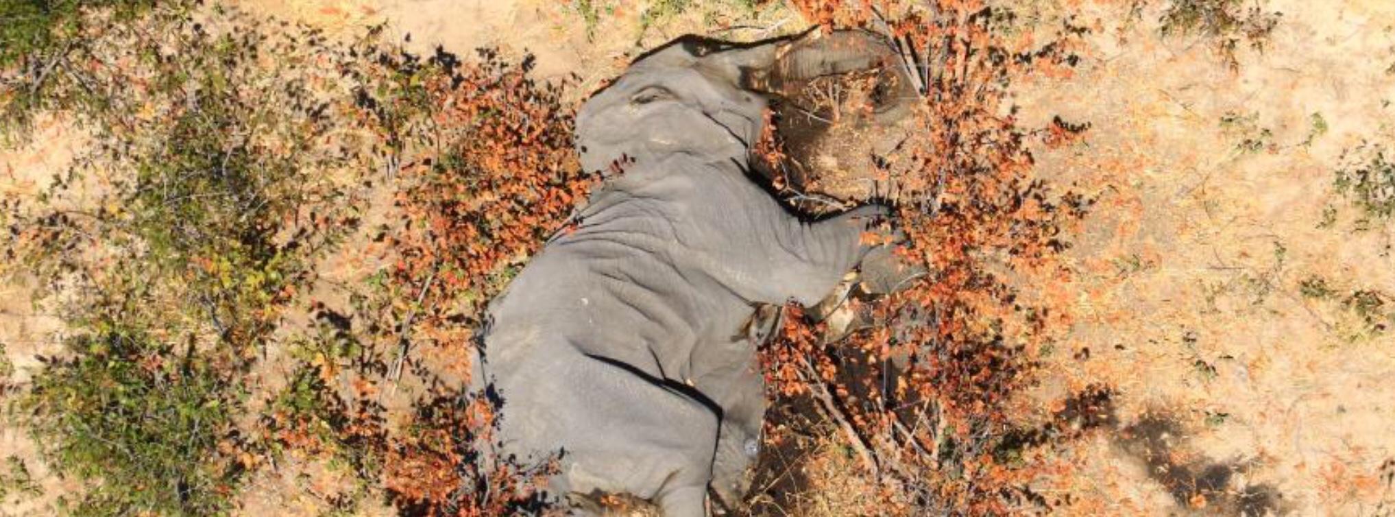 Massive death of Botswana elephants
