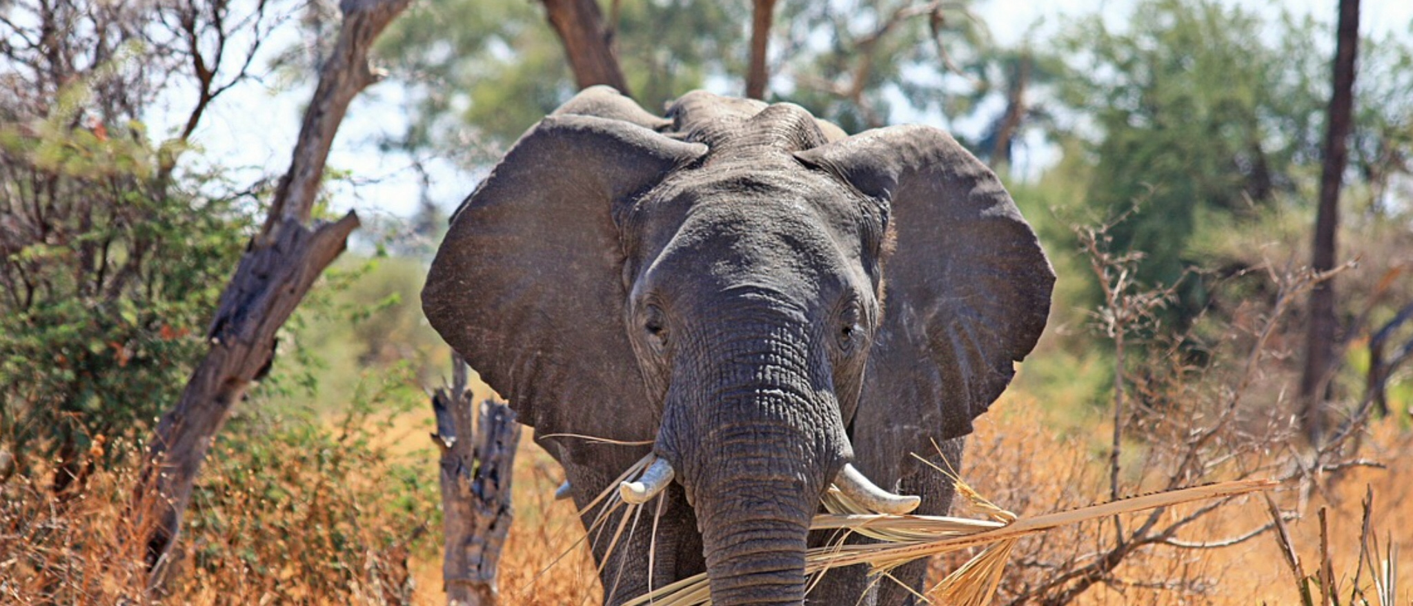 Botswana investigates elephants mysterious deaths